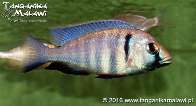 Placdochromis electra Likoma
