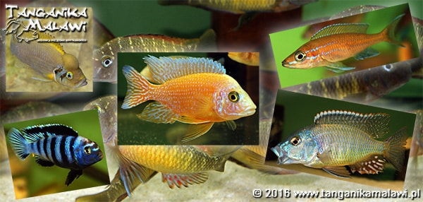 Breeding African cichlids