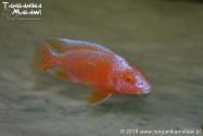 Aulonocara Red Dragon