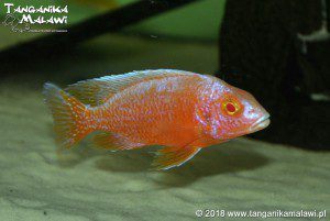 Aulonocara Red Dragon