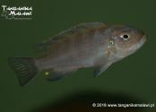 "Cynotilapia  sp. ""lion""  Lions cove  WF"