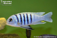 "Cynotilapia sp. ""hara"" Gallireya Reef WF"