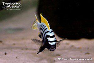Cynotilapia zebroides Jalo Reef F1