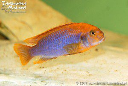 Idotropheus sprengerae Makokola Reef