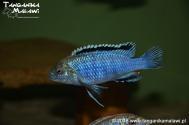 Labidochromis joanjohnsonae Likoma Island WF