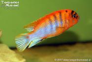 "Labidochromis sp. ""hongi"" Sweden"