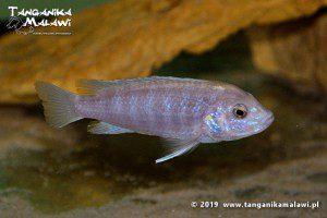 Labidochromis chisumulae Chizumulu Island  WF
