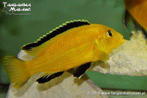 Labidochromis caeruleus Lion's Cove
