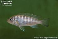 Metriaclima sp. daktari Hai Reef WF