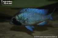 Placidochromis sp. 'phenochilus gissel'