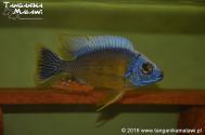 "Protomelas sp. "" steveni taiwan"" Taiwan Reef"