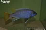 "Pseudotropheus sp. ""acei"" Luwala Reef"