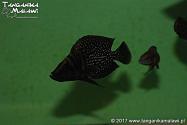 Altolamprologus calvus Black Pectoral Lupota WF