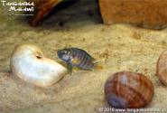 Altolamprologus compressiceps shell Sumbu  WF