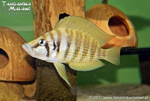 Altolamprologus calvus Yellow Chisanse WF