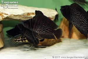 Altolamprologus calvus Black Zair