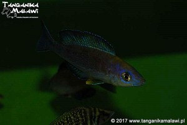 Cyprichromis microlepidotus Kiriza Black F1