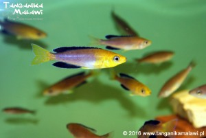 Cyprichromis sp. leptosoma jumbo Yellow Head Kekese  F1
