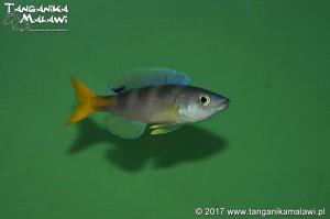 Cyprichromis  leptosoma  Utinta WF