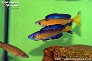 Cyprichromis microlepidotus Kassai F1