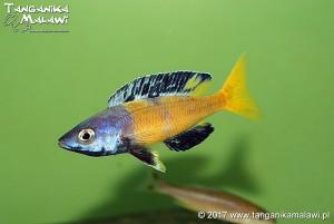 Cyprichromis sp. leptosoma jumbo Speckleback Moba F1