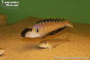 Enantiopus melanogenys Gombe WF