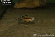 Julidochromis marksmithi (regani Kipili) F1