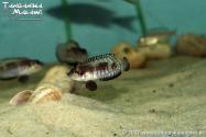Lamprologus speciosus Kiziki  WF