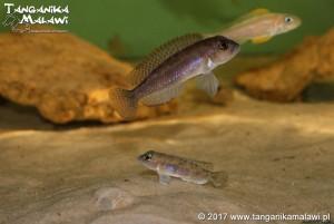 "Lamprologus sp. ""Ornatipinnis Zambia"" Cameron Bay WF"