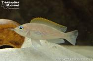 Lamprologus caudopunctatus Kapampa  WF