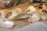 Lamprologus multifasciatus WF