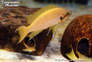 Neolamprologus splendens (heliantus) Kamakonde WF