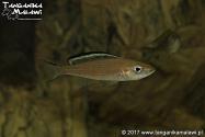 Paracyprichromis brieni Kitumba  WF