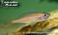 Paracyprichromis nigripinnis Chituta Neon Head WF