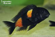 Tropheus sp. Bulu Point WF