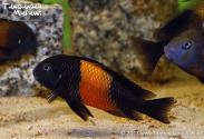 Tropheus sp. Pemba (Bemba)