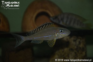 Xenotilapia papilio Tembwe  WF